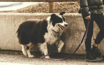 Girl Walking Her Collie