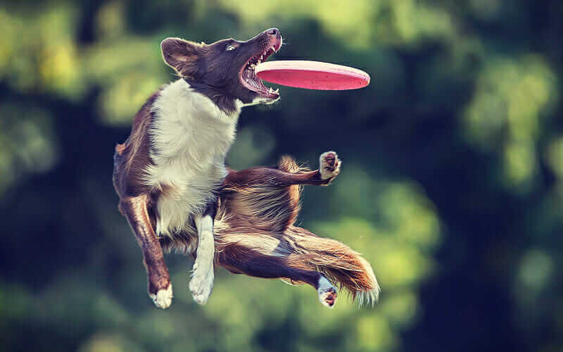 Dog Catching A Frisbee In Mid Air