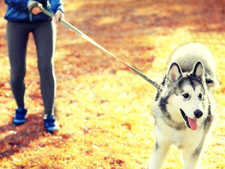 Husky dog pulling on leash
