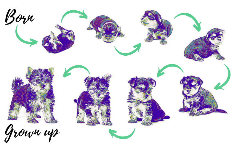 Progressive Growth Of A Puppy