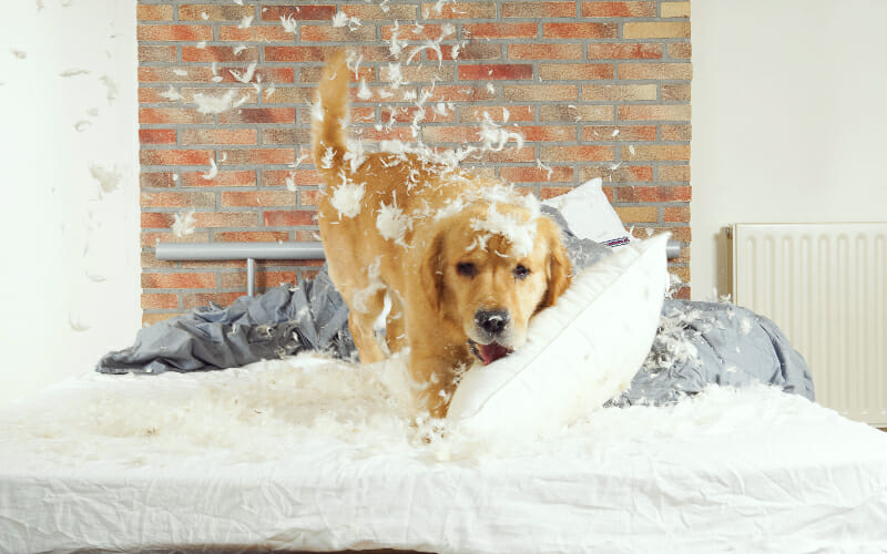 Dog Chewing And Destroying A Pillow